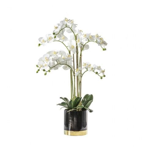 Large White Orchid In A Black & Gold Pot